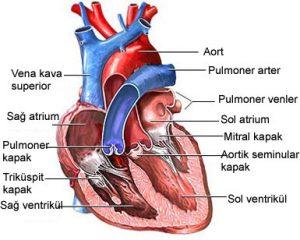 kalp damarları